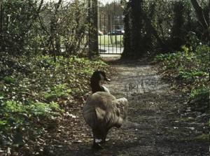 goose path